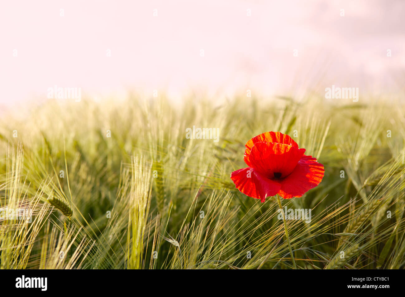 Poppies in campo di orzo Immagini Stock
