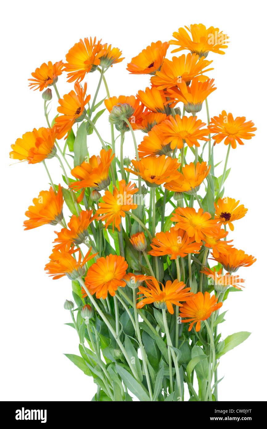 Grande boccola arancione di erba medica Calendula fiori su sfondo letto . Isolato, il fuoco selettivo Immagini Stock