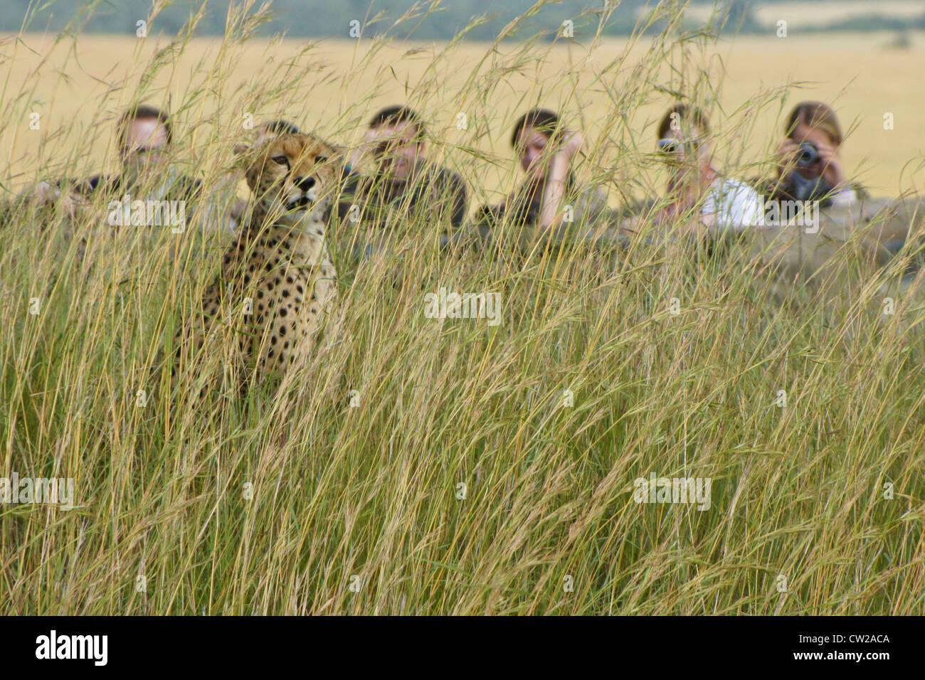 I turisti a guardare ghepardo, il Masai Mara, Kenya Immagini Stock