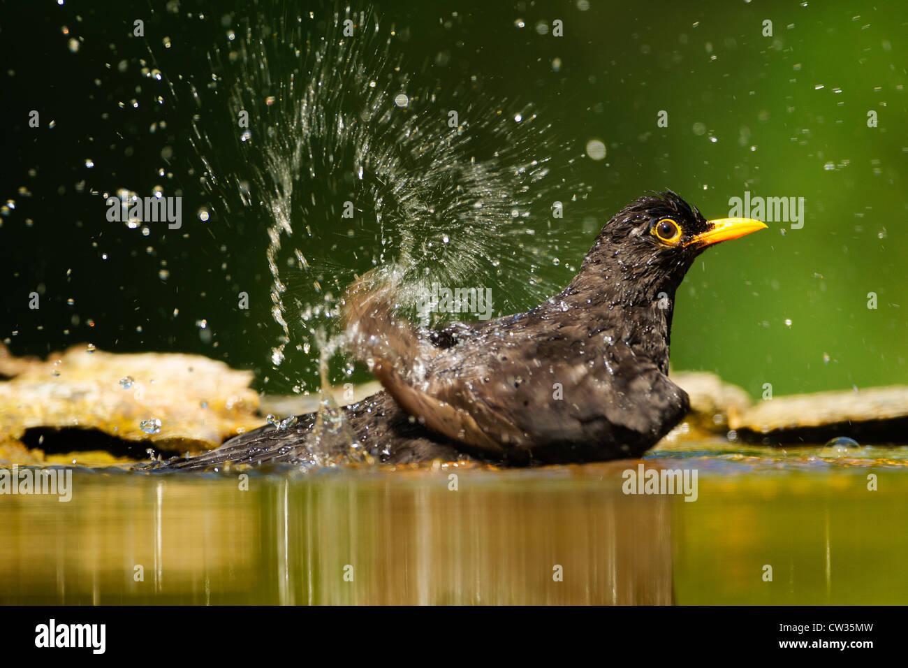 Merlo comune(Turdus merula) la balneazione.fame Immagini Stock