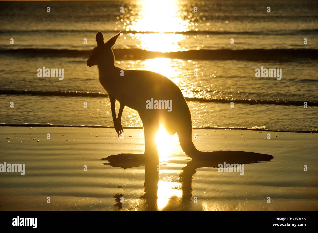 Silhouette Australia orientale canguro grigio sulla spiaggia al tramonto, Cape Hillsborough, Mackay, North Queensland, Immagini Stock