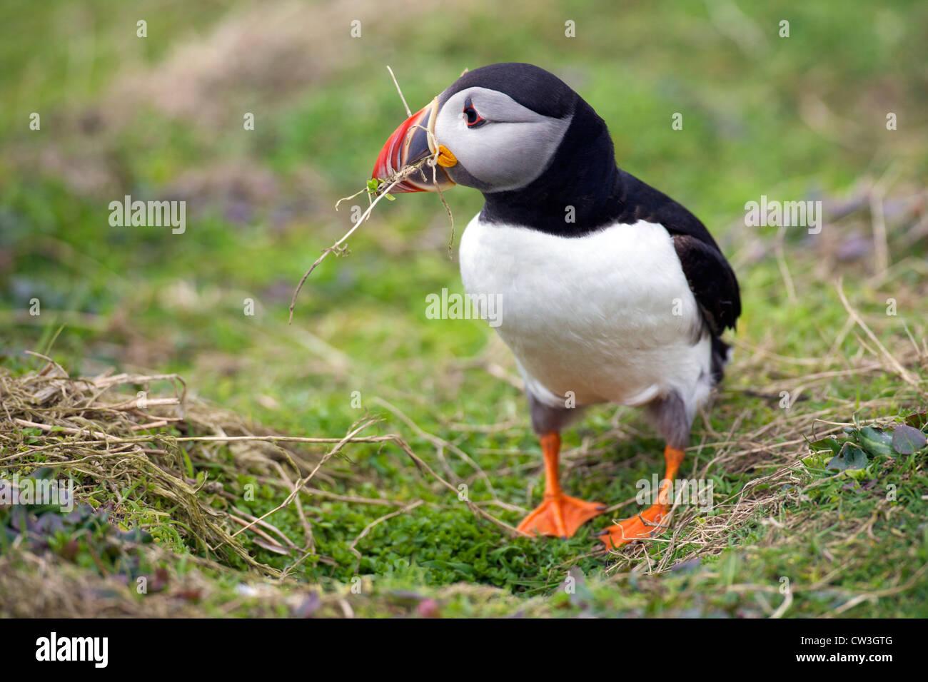 Atlantic Puffin la raccolta di materiale di nidificazione per burrow sull isola Skomer, Pembrokeshire National Park, Immagini Stock