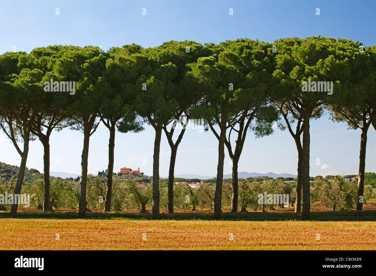 Maremma - Parco Naturale - alberi di pino - Italia Immagini Stock