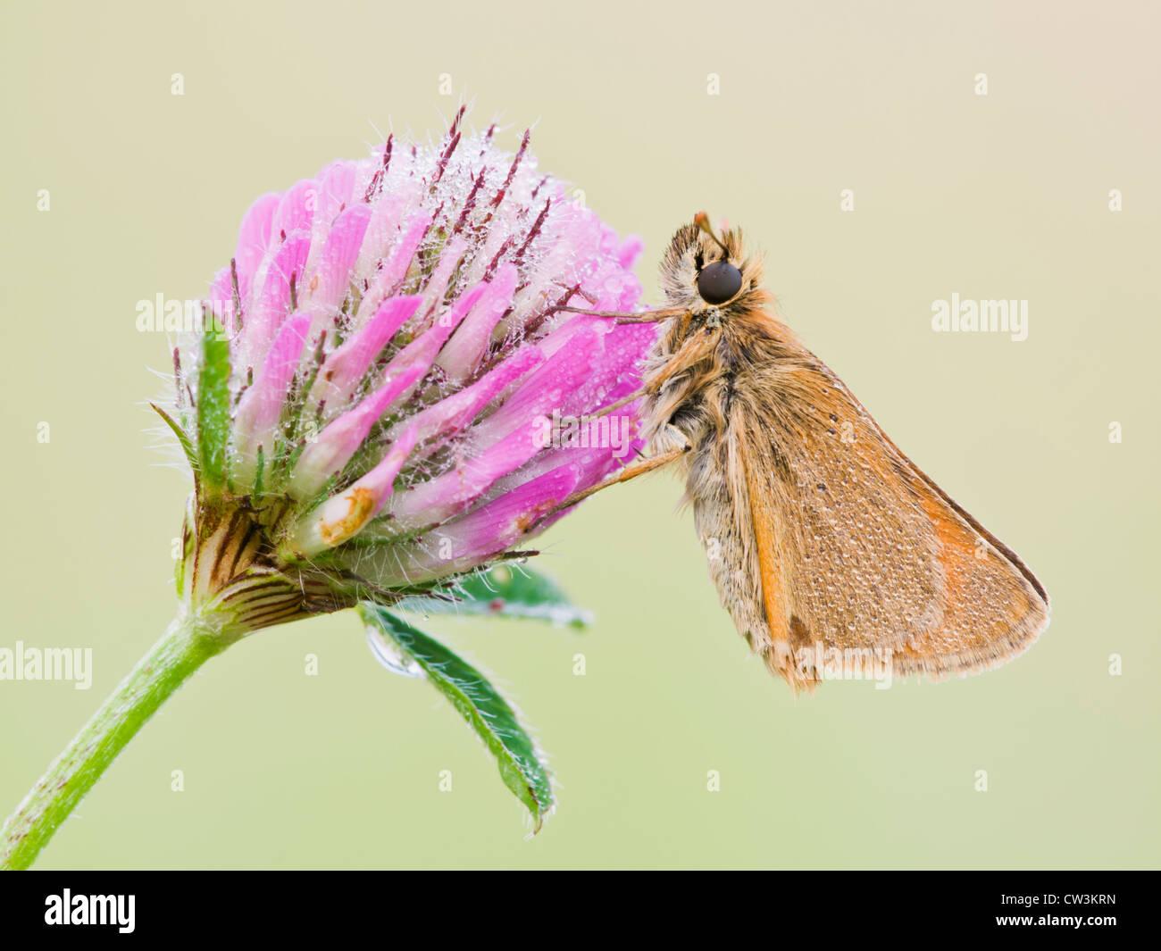 Piccola skipper appoggiata sul fiore di trifoglio Immagini Stock