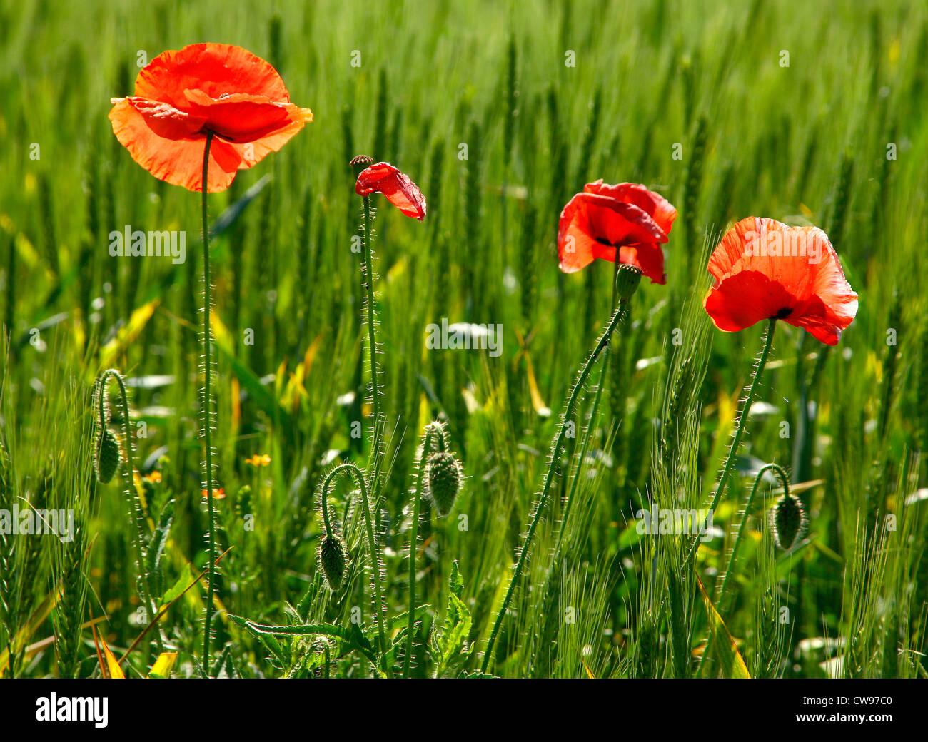 Papavero rosso fiore nel grano verde Immagini Stock