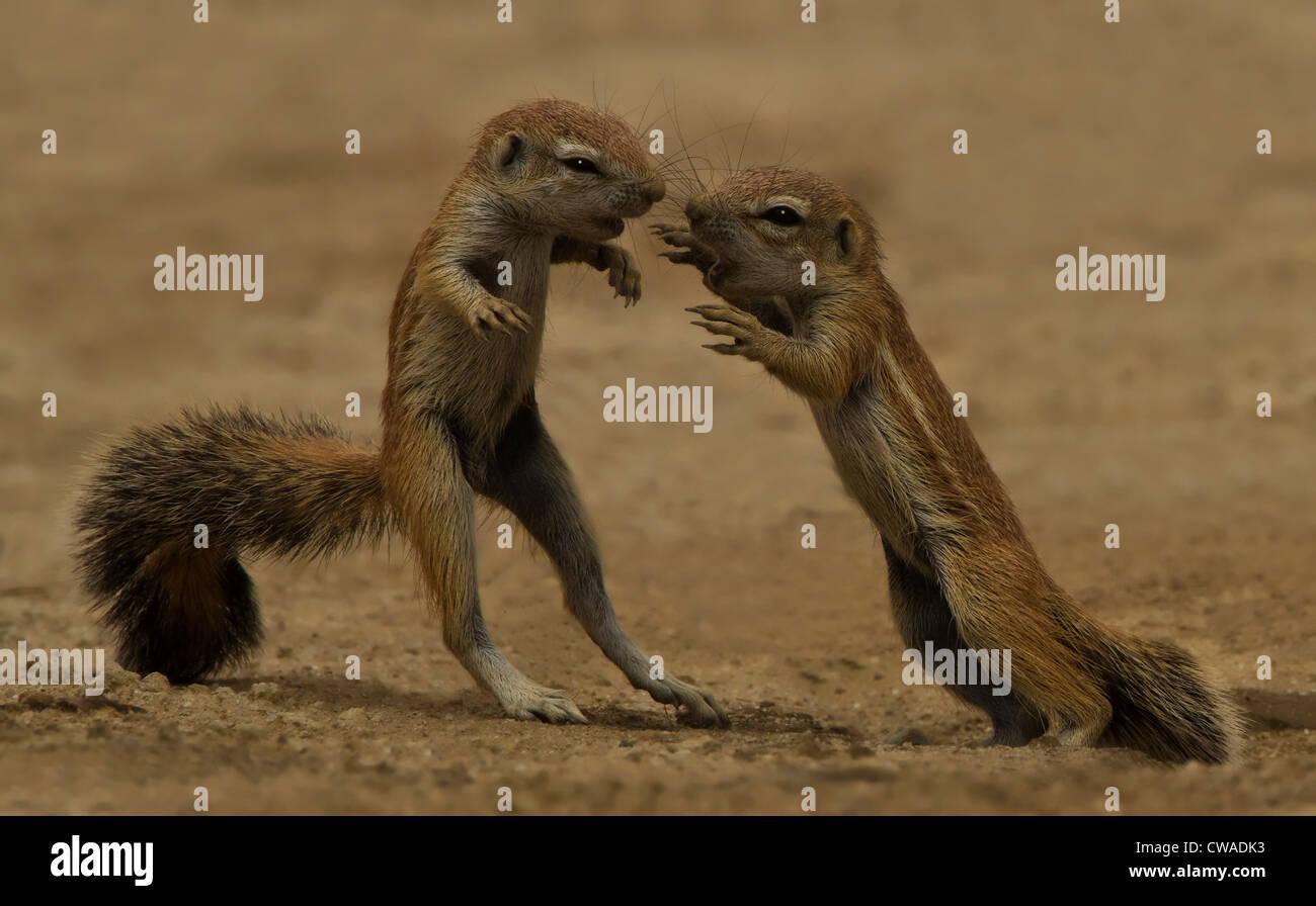 Giovani scoiattoli a giocare, Kgalagadi Parco transfrontaliero, Africa Immagini Stock