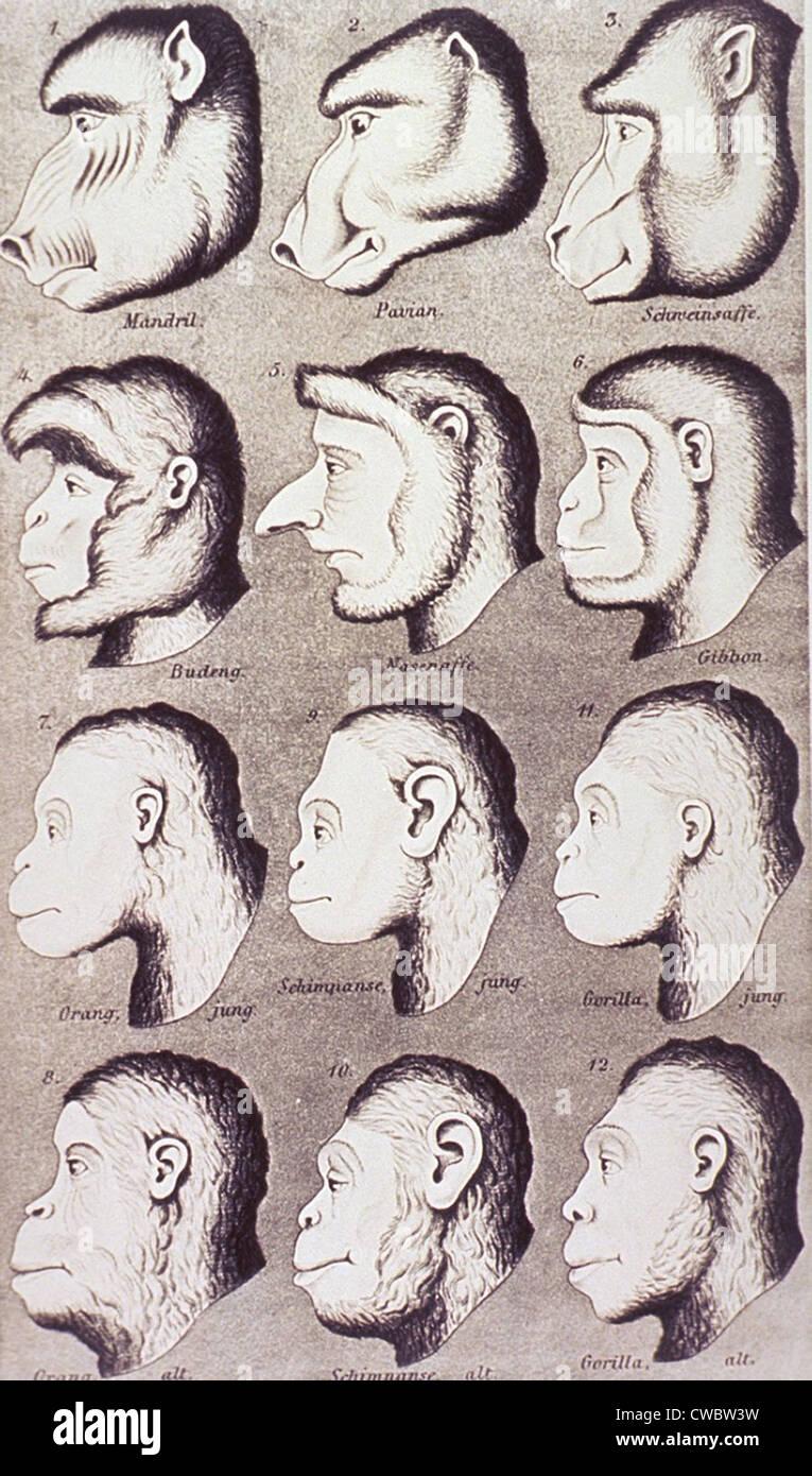 Una serie di teste di primate sviluppare progressivamente più simile a quella umana funzioni. Da Ernest Haeckel's Immagini Stock