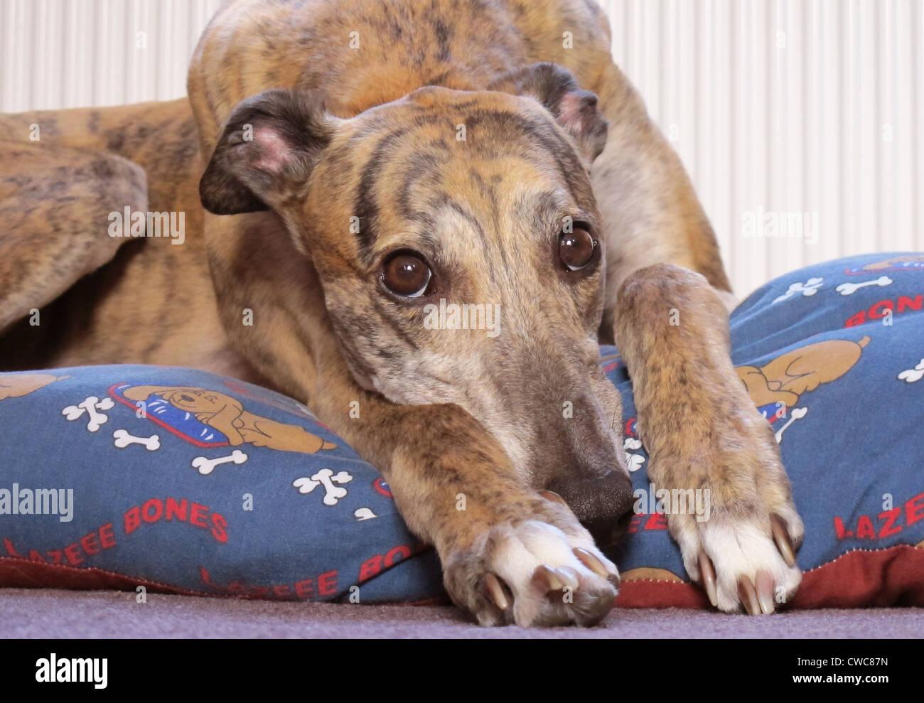 Close up ritratto di un bellissimo tigrato greyhound colorati appoggiati sul suo letto. Immagini Stock