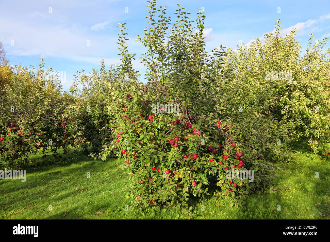 Apple commerciale Orchard con alberi caricati con le mele. Immagini Stock