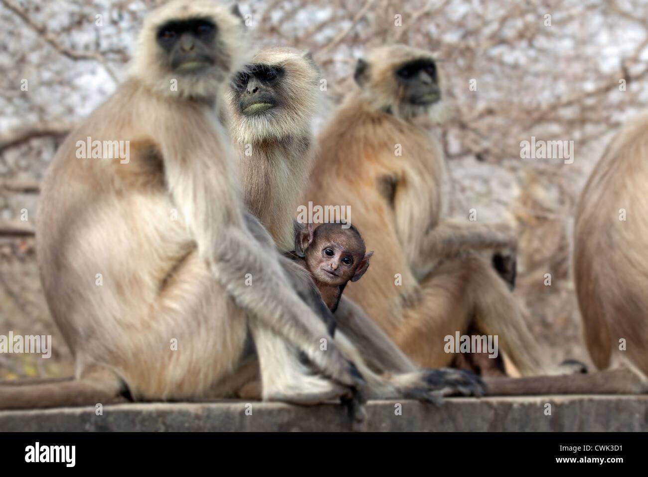 Grigio / Hanuman langur (Semnopithecus entellus) famiglia con bambino, il Parco nazionale di Ranthambore, Sawai Immagini Stock