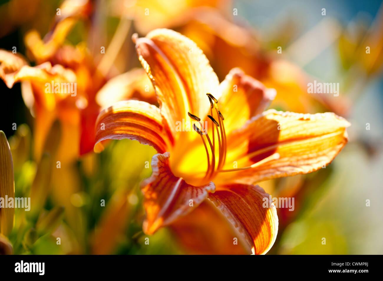 Bel colore arancione tiger lily fiori fioritura in giardino Immagini Stock