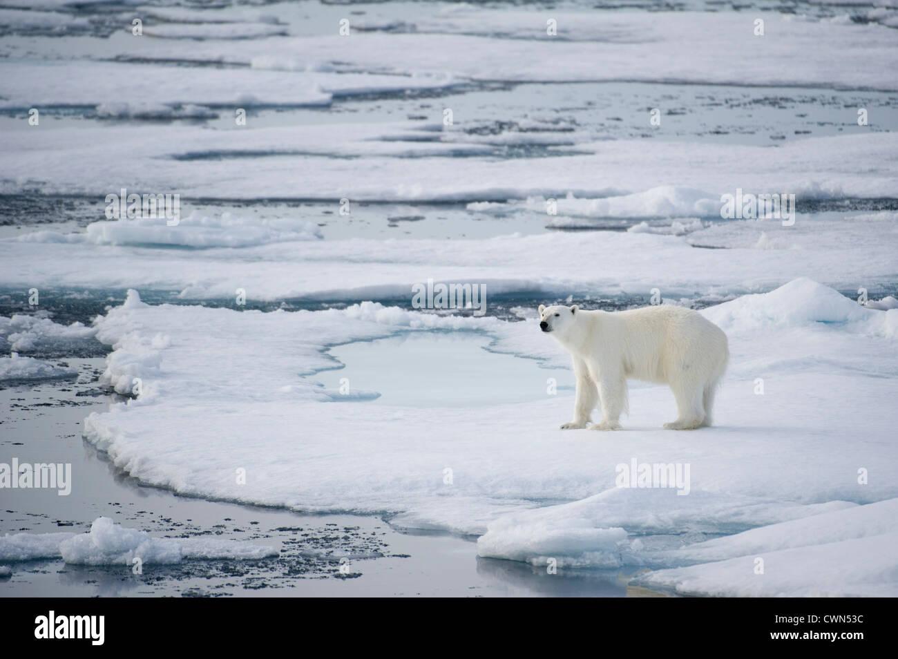 Orso polare, Ursus maritimus, sul mare di ghiaccio a nord di Spitsbergen, Svalbard, Arctic Immagini Stock