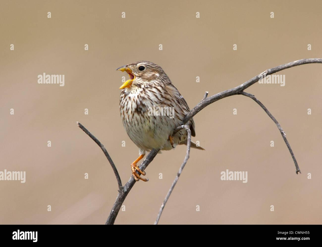 Emberiza calandra - Corn bunting appollaiato su un ramo cantando Immagini Stock