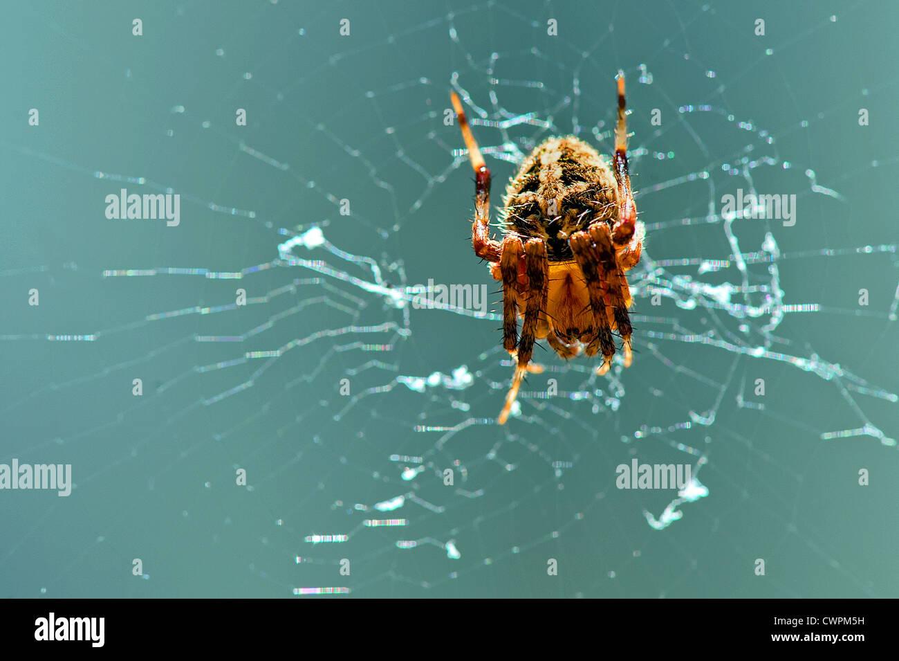 Giardino europeo spider Immagini Stock