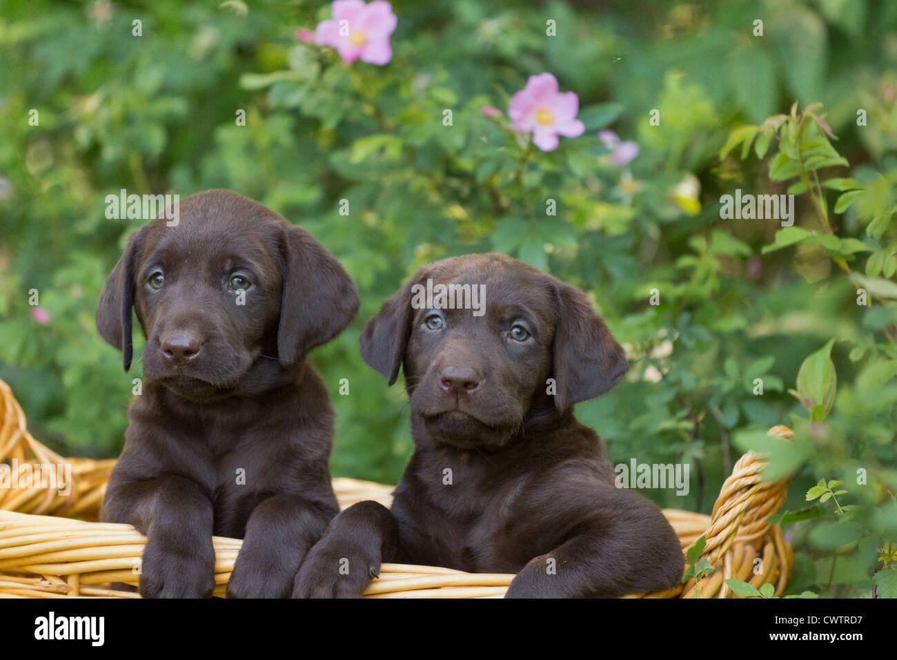 Il cioccolato Labrador cuccioli Immagini Stock