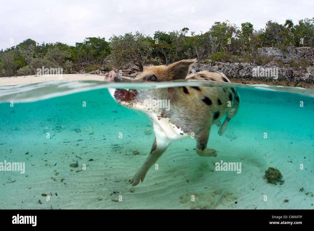 Un suino selvatico nuota nelle acque cristalline delle Bahamas a Staniel Cay per salutare una barca piena di turisti. Immagini Stock