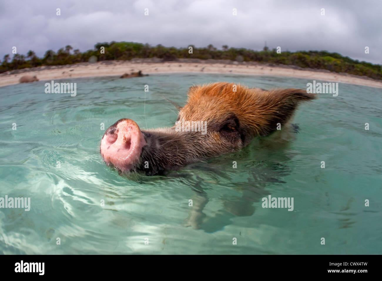 Un maiale selvatico nuota fino ad una barca piena di turisti a Staniel Cay nelle Bahamas. Foto Stock