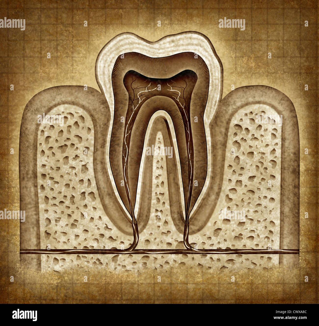 Dente anatomia interna vecchia pergamena grunge diagramma come un chirurgo dentista denti simbolo per la clinica Immagini Stock