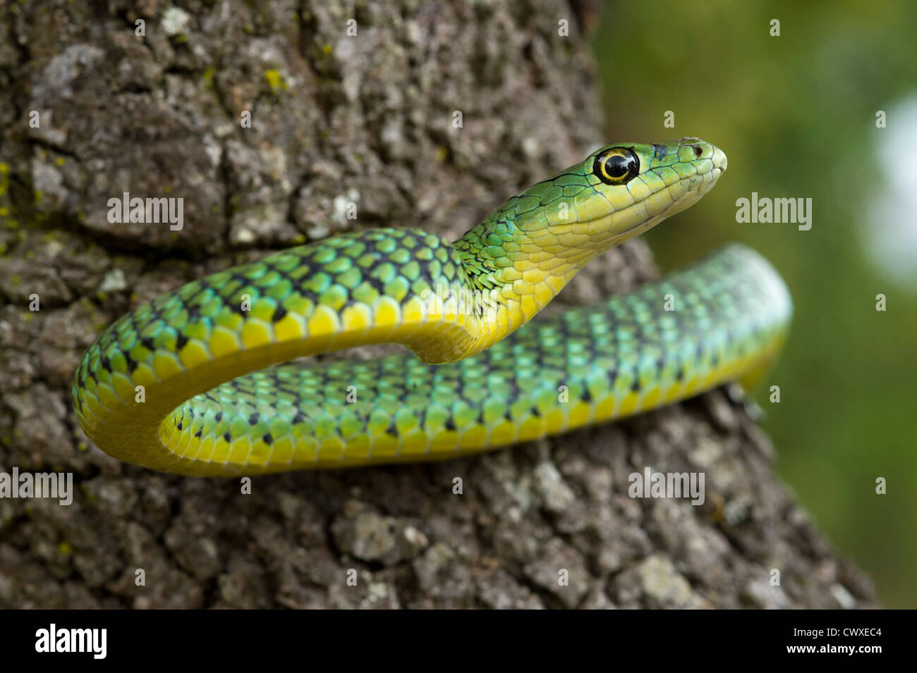 Avvistato bush snake, Philothamnus semivariegatus, Akagera National Park, Ruanda Immagini Stock