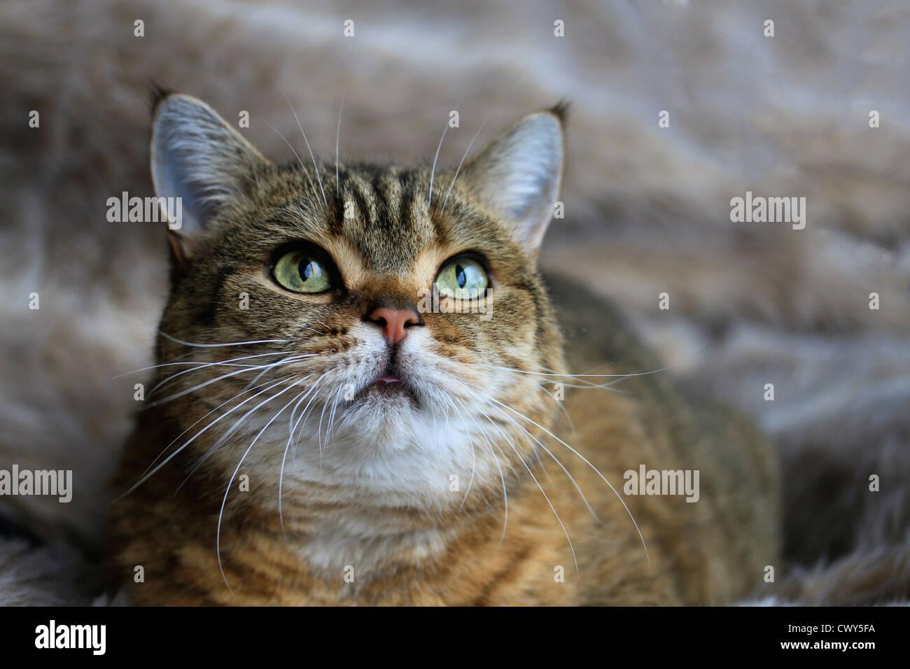 Gatto di tabby Immagini Stock