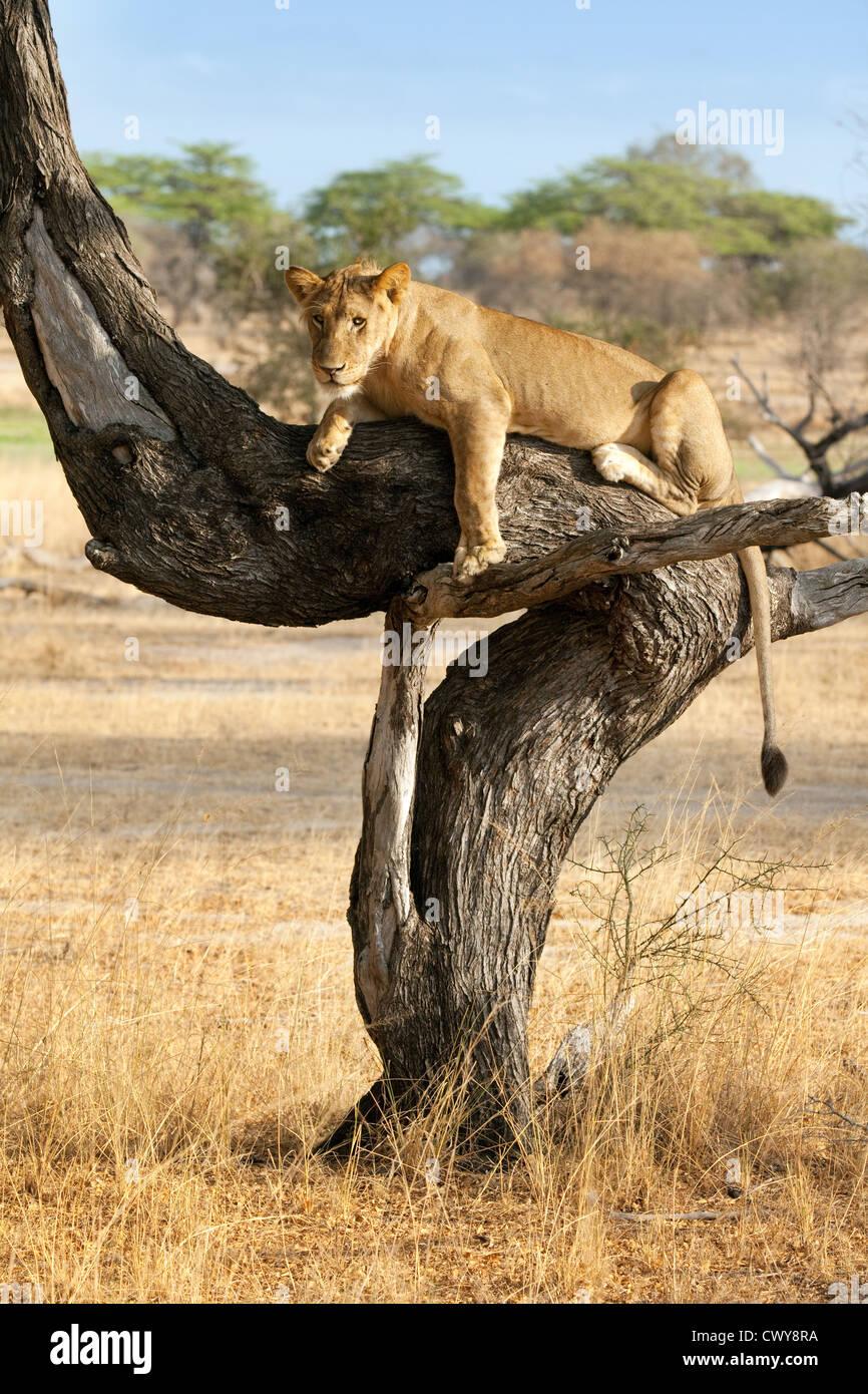 Leonessa (Panthera Leo) in una struttura ad albero, Riserva Selous, Tanzania Africa Immagini Stock