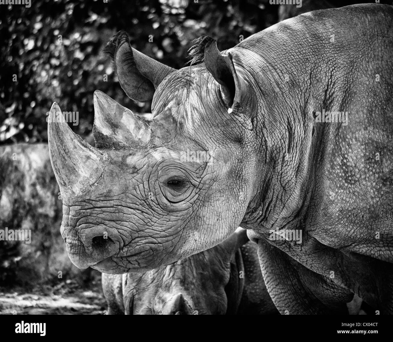 Rinoceronte presso lo Zoo di Kansas City Immagini Stock