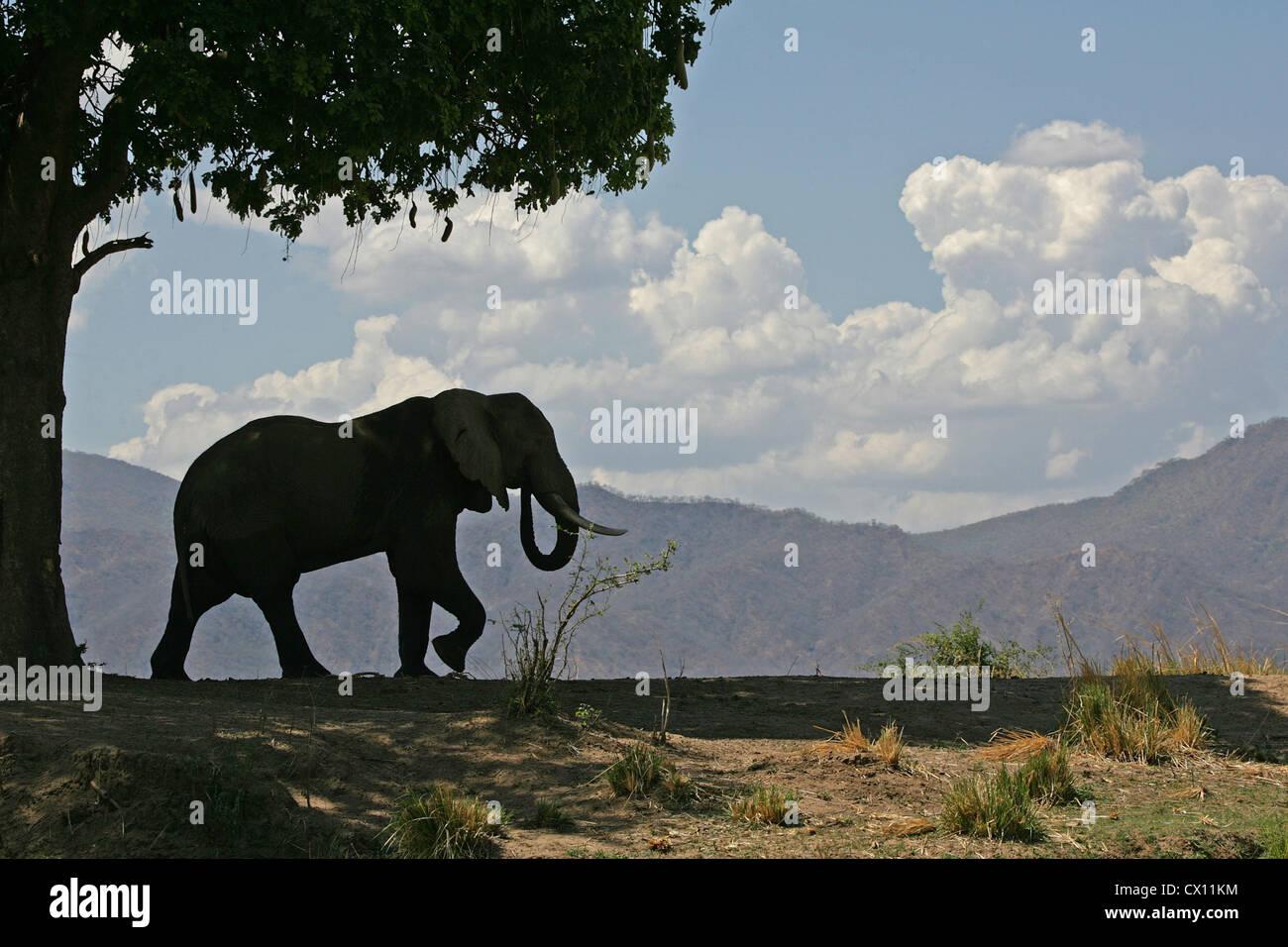 Elefante africano a Bull e salsiccia tree, Mana Pools, Zimbabwe Immagini Stock