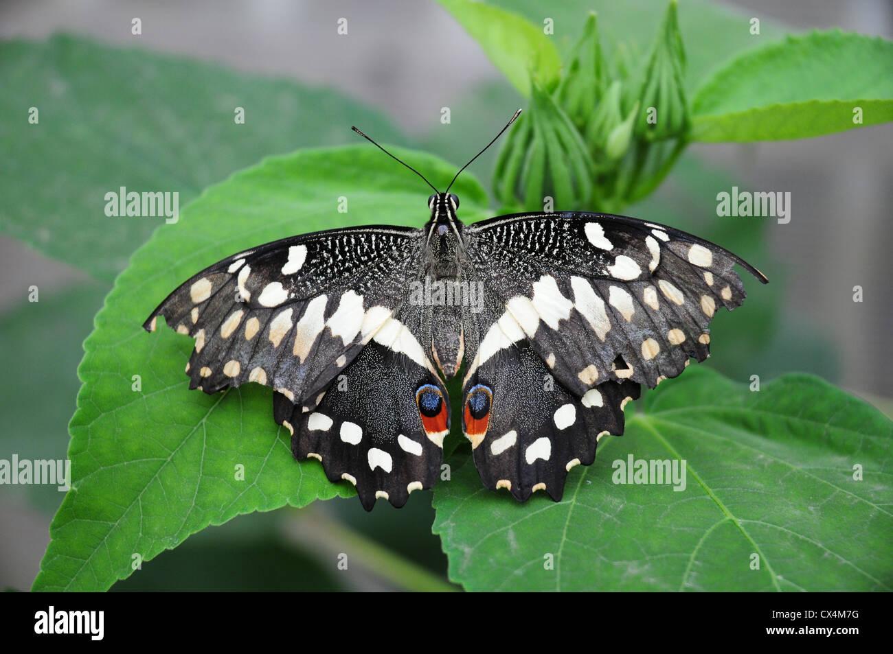 Citrus coda di rondine butterfly. Papilio demodocus. La farfalla di Natale Immagini Stock