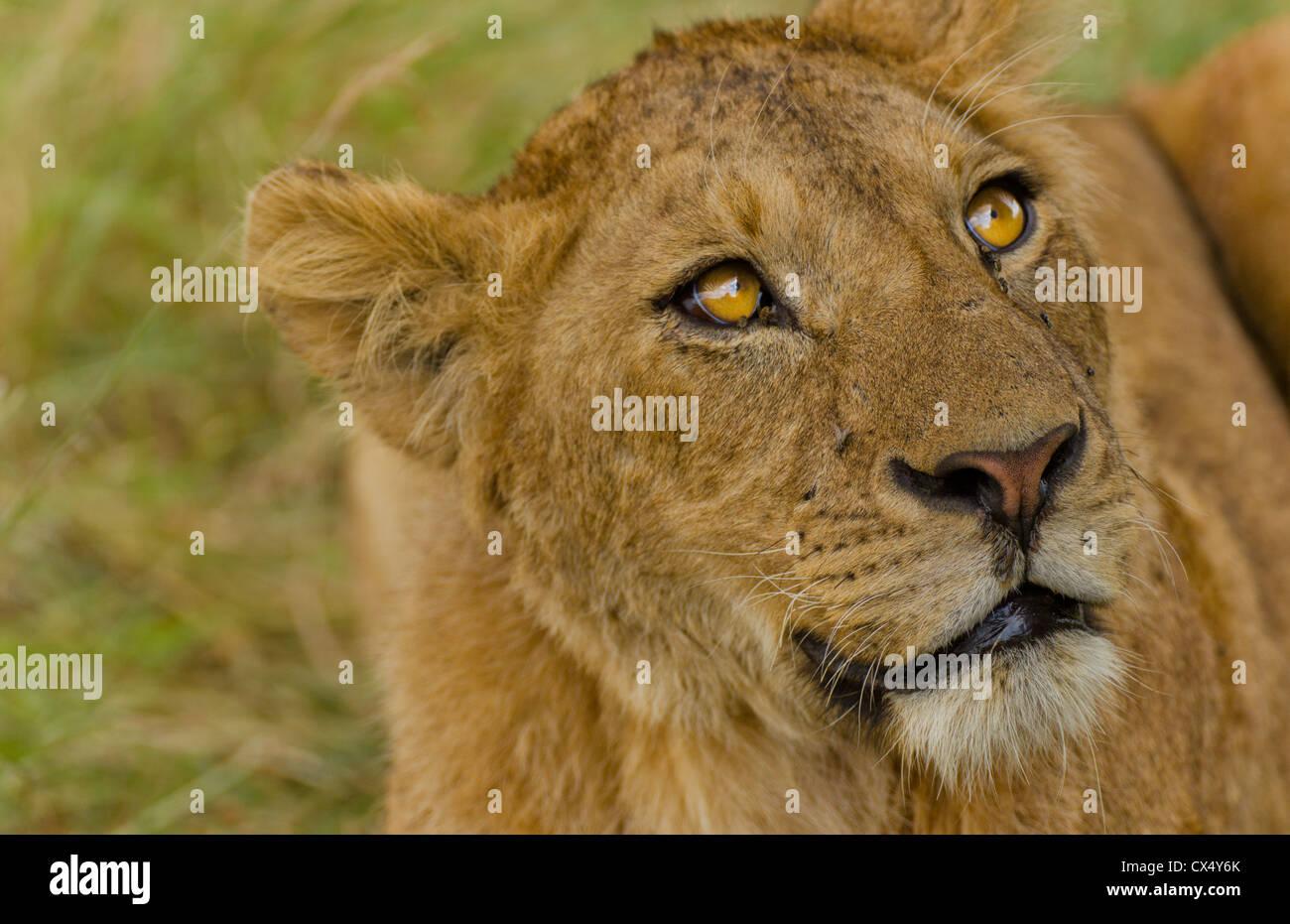 Amboseli National Park Kenya Africa safari close up di lion wild in riserva Amboseli Immagini Stock
