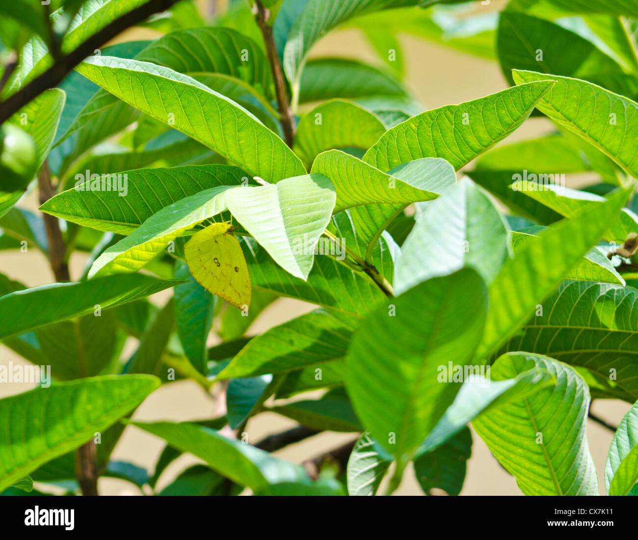 Catopsilia pomona / comune emigrante / giallo limone emigrante butterfly nascondere sotto le foglie di 'guaiava Immagini Stock