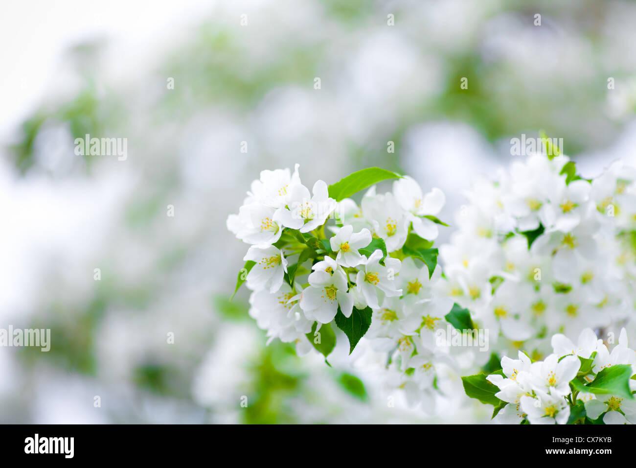 Albero di apple blossom ramo macro Immagini Stock