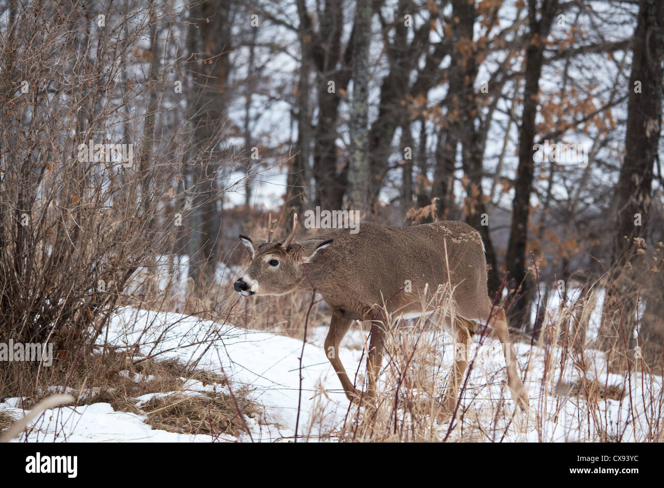 White-tailed deer in inverno Immagini Stock