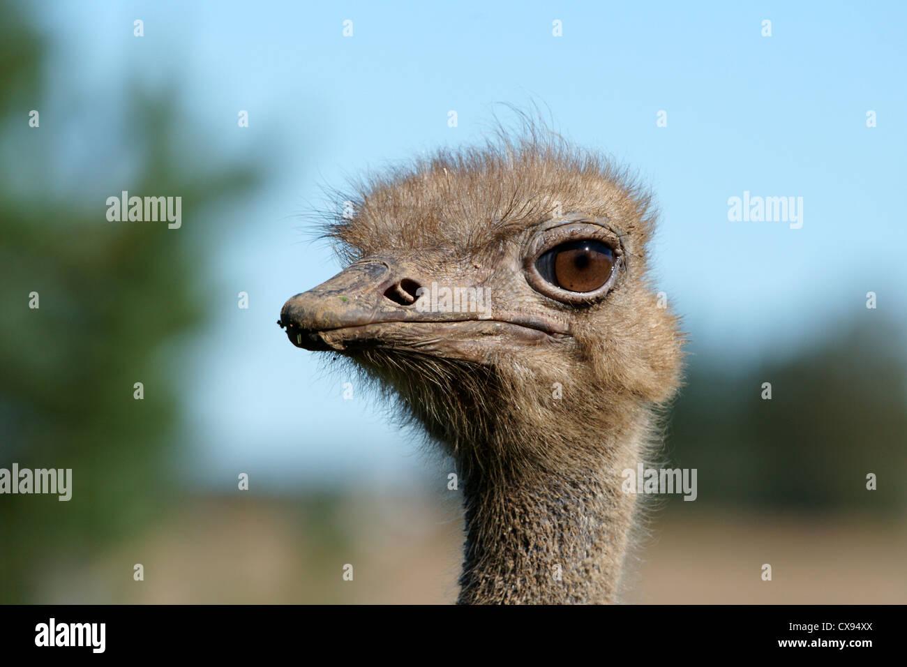 Ritratto di un adulto di struzzi close up Immagini Stock