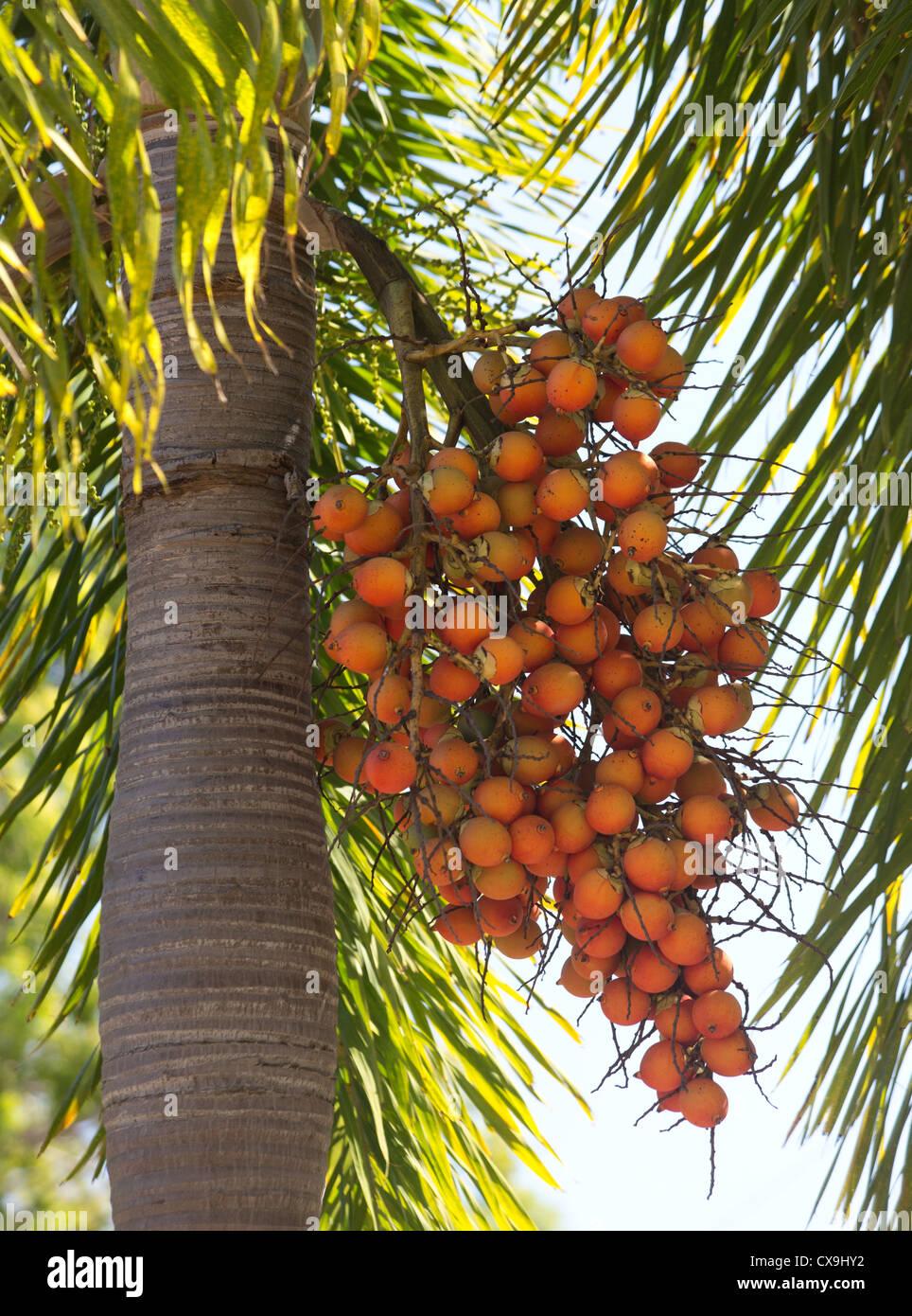Frutti maturi rossi su un albero di palma, il Parco Nazionale Kakadu, Territorio del Nord Immagini Stock