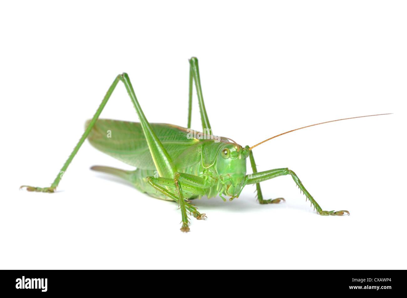Grande Bush-Cricket verde (tettigonia viridissima) isolato su sfondo bianco Immagini Stock