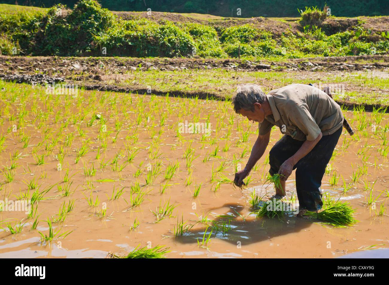 Riso paddy field worker dalla tribù Lahu piantagione del riso in risaie vicino a Chiang Rai, Thailandia, Sud Immagini Stock