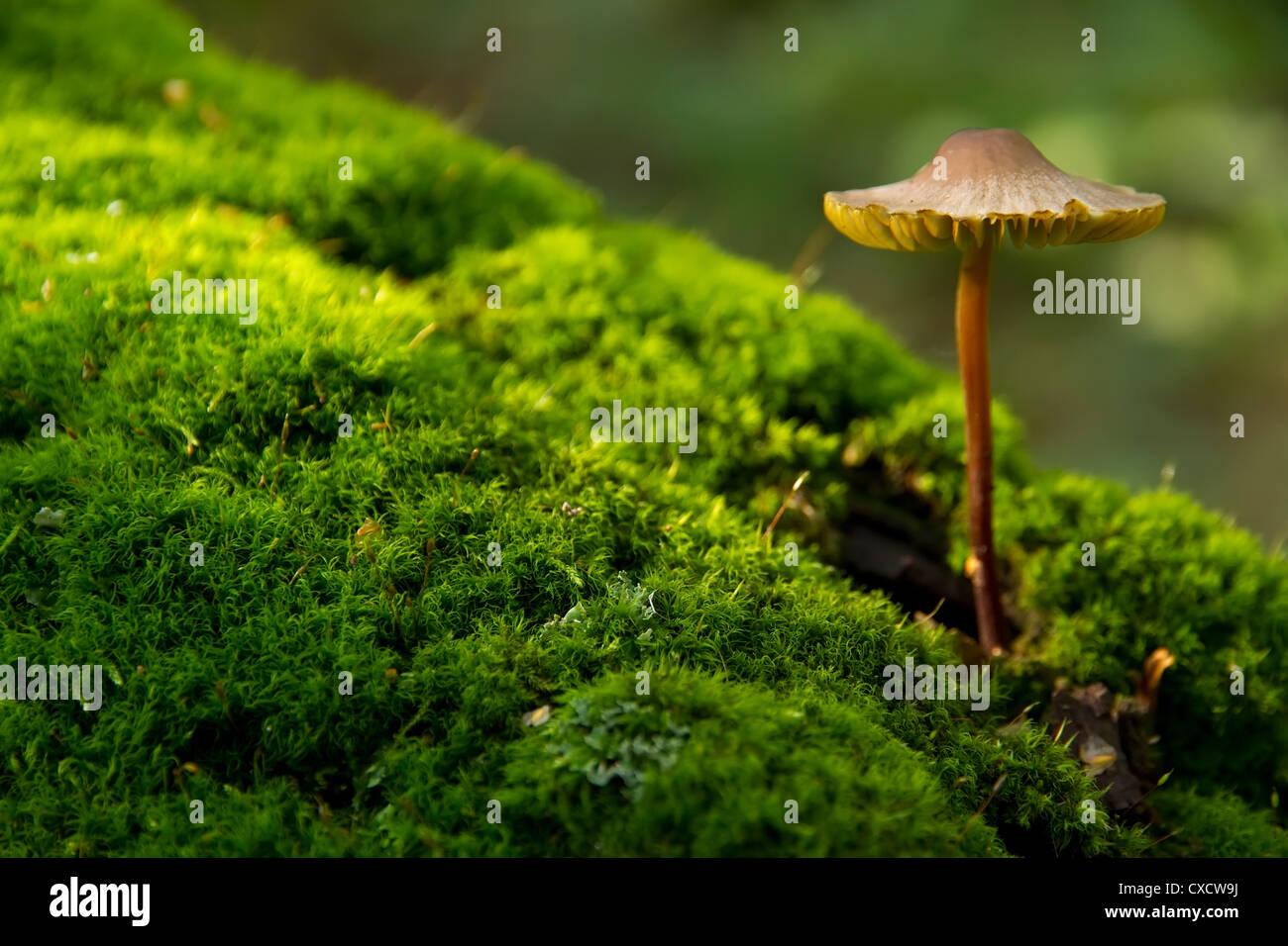 Coltivazione di funghi da albero, Мусепа haematopus Foto Stock