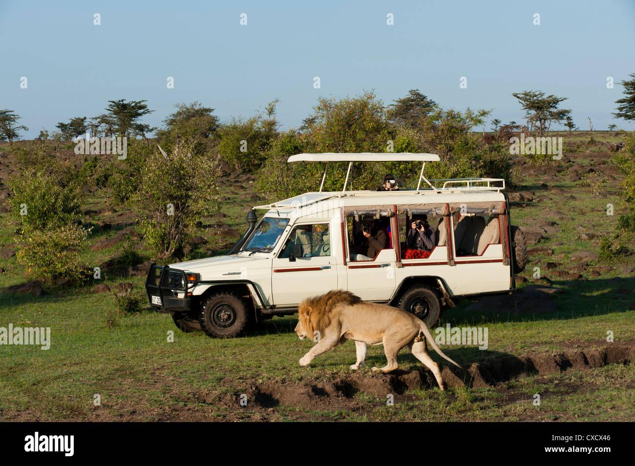 Lion (Panthera leo) e veicolo di safari, il Masai Mara, Kenya, Africa orientale, Africa Immagini Stock