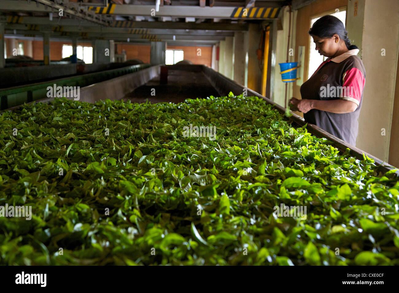 Donna asciugando le foglie di tè a Geragama piantagione di tè, nei pressi di Kandy, Sri Lanka, Asia Immagini Stock
