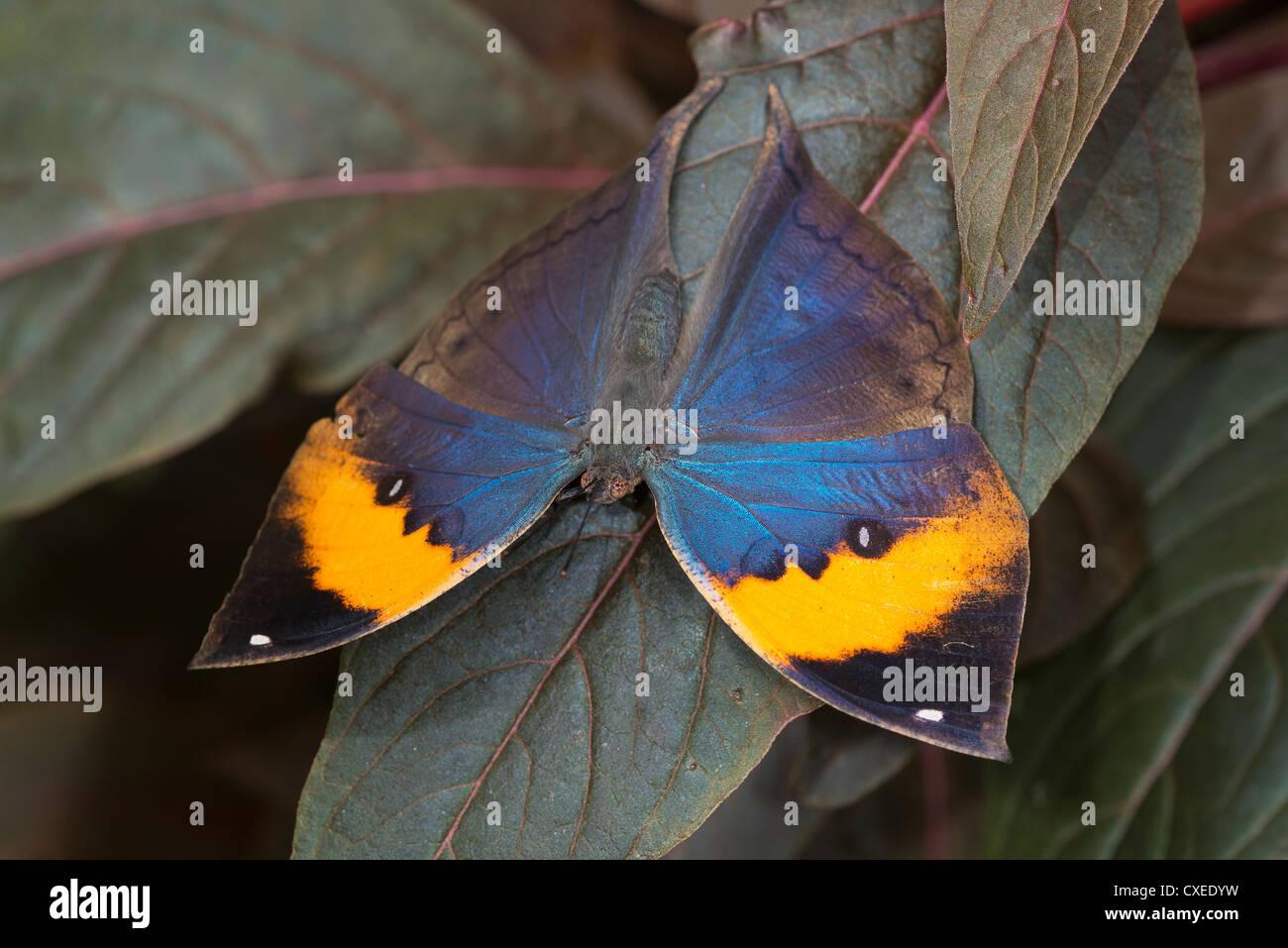 Un adulto indiano farfalla foglia poggiante sul fogliame Immagini Stock