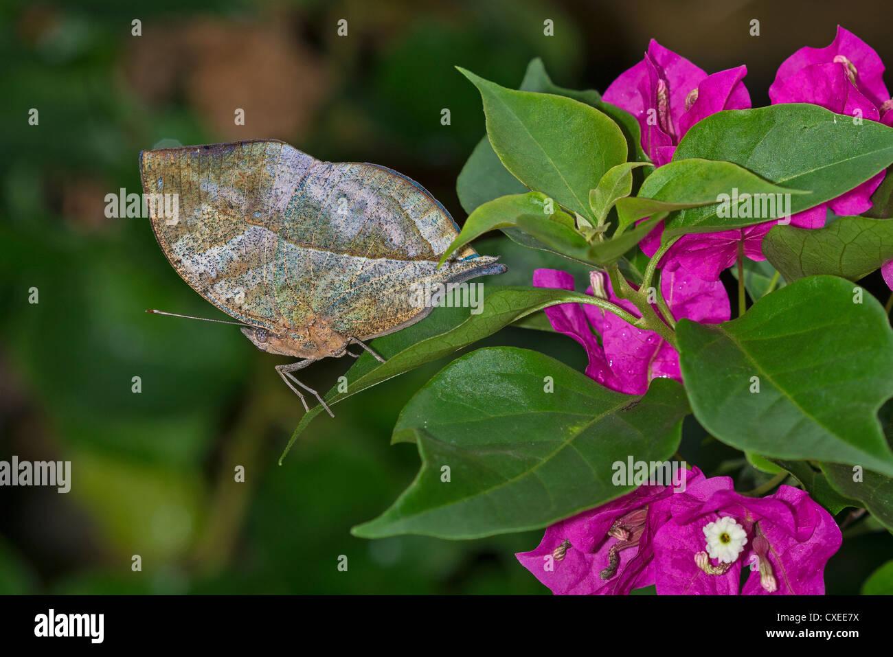 La celata la parte inferiore di una foglia indiano butterfly Immagini Stock