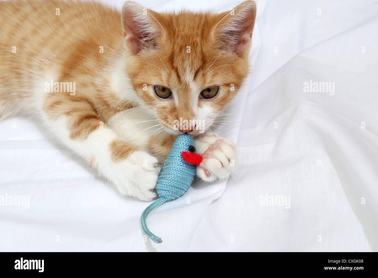 Lo zenzero e il cucciolo bianco gioca con il mouse giocattolo Foto Stock