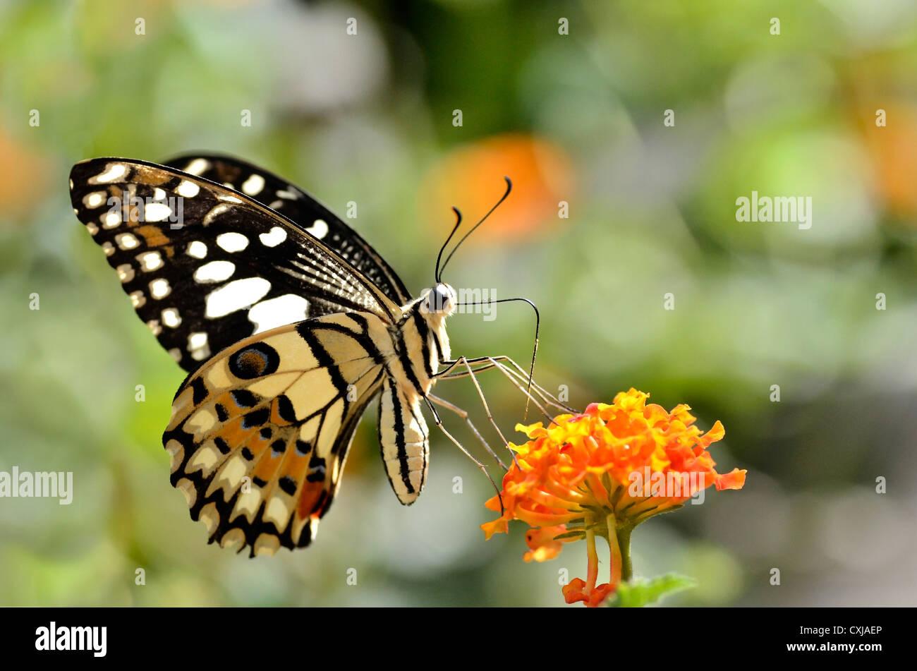Lime butterfly (Papilio demoleus) alimentazione sul fiore (Lantana camara) Immagini Stock