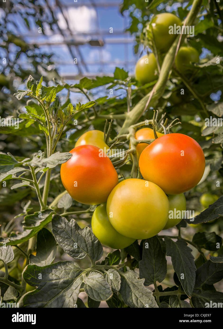 Costo serra grande tipo serra agricola di basso costo serra del dente di sega dei fiori serra - Energia geotermica domestica ...