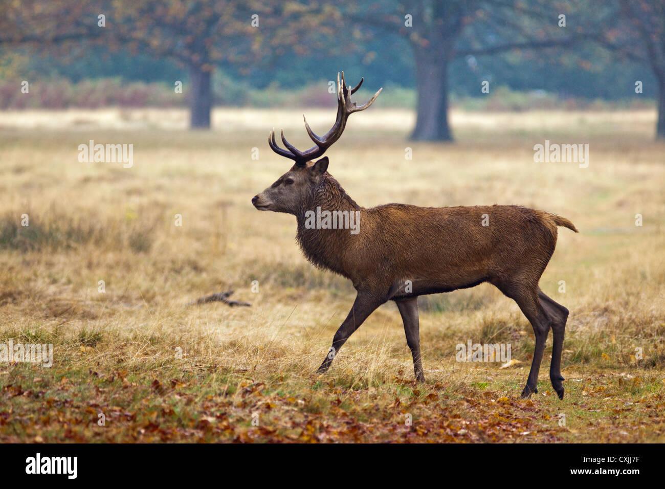 Il cervo (Cervus elaphus) stag ritratto, passeggiate, profilo, Richmond Park, Regno Unito Immagini Stock