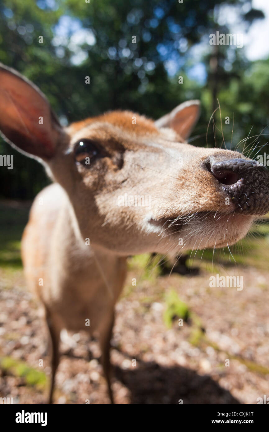 Sika cervo (Cervus nippon) closeup Immagini Stock