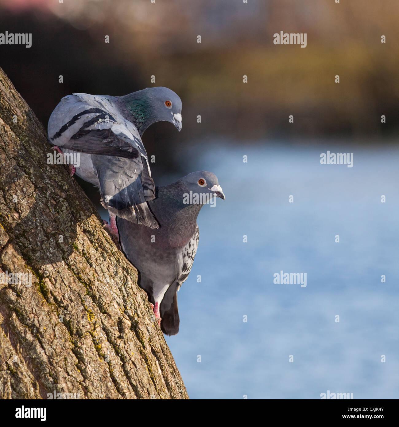 Pigeon Rock (Columba livia) sugli alberi in un parco della città, REGNO UNITO Immagini Stock