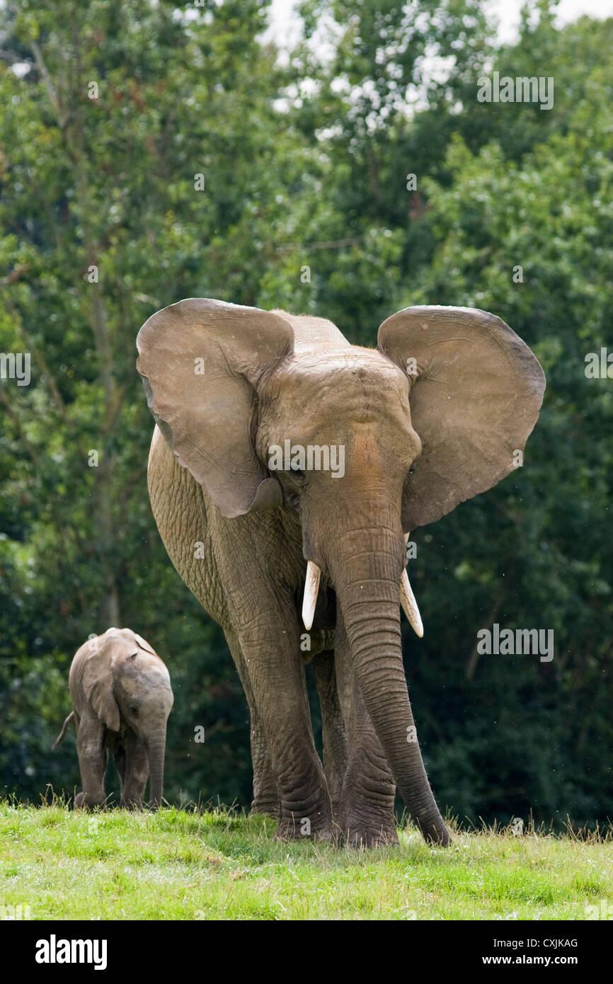 Elefante africano (Loxodonta africana) con il novellame di vitello Immagini Stock
