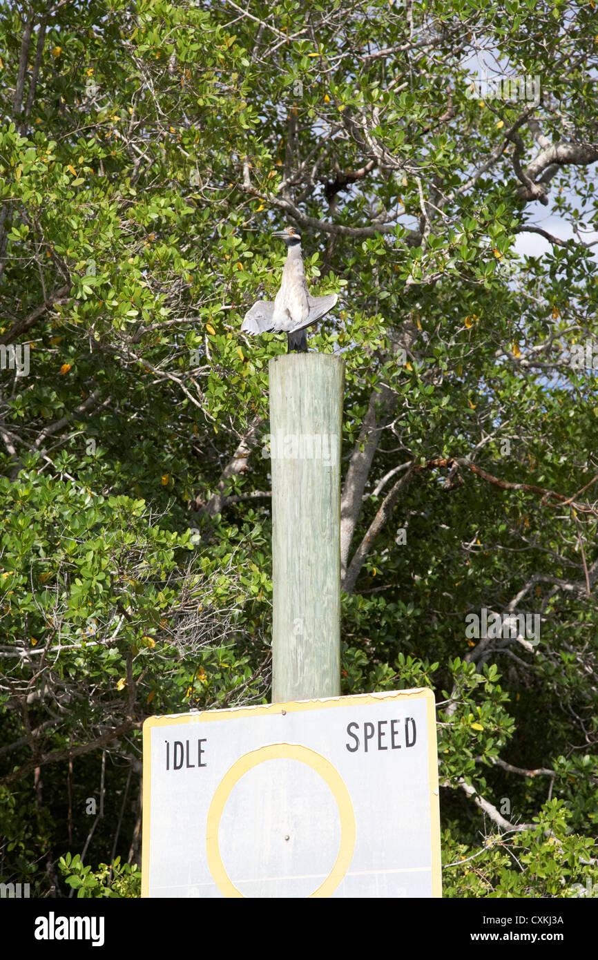 Una nitticora asciugando le sue ali sulla parte superiore di un montante di navigazione in Everglades della Florida Immagini Stock