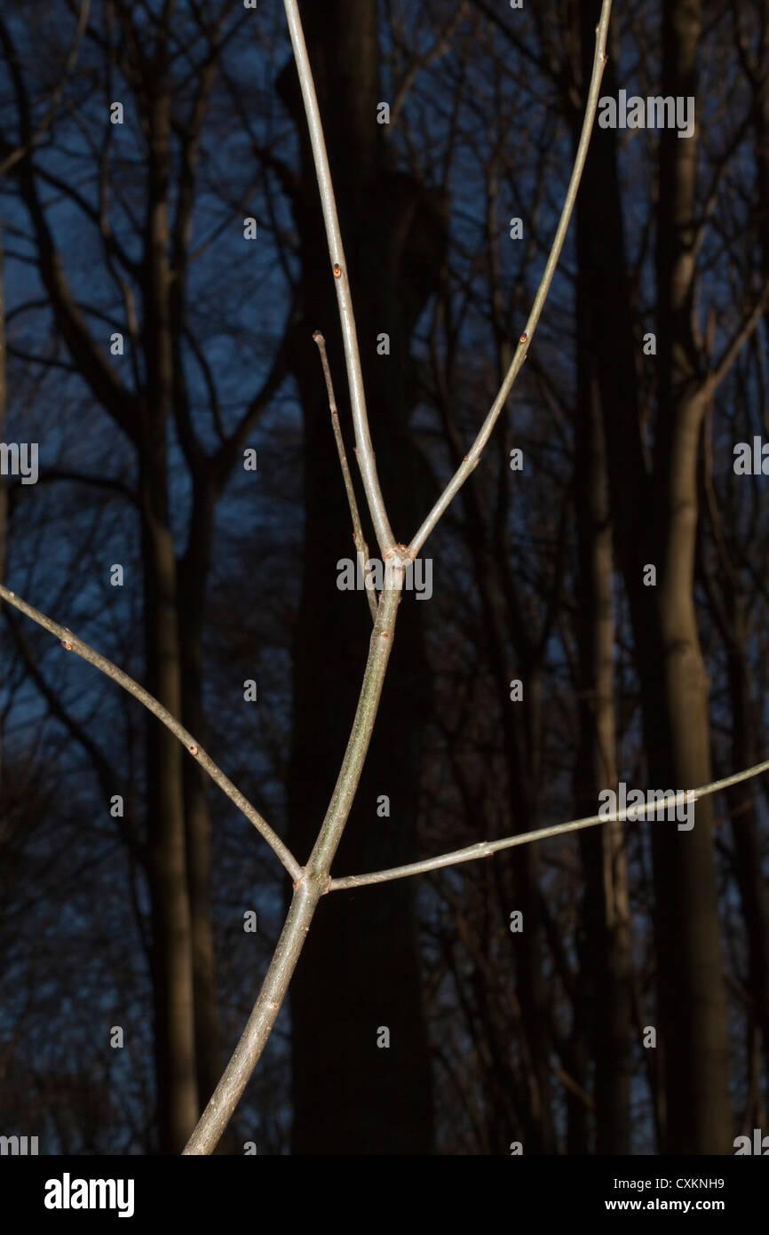 Illuminata giovane ramo con vecchi alberi in un legno Immagini Stock